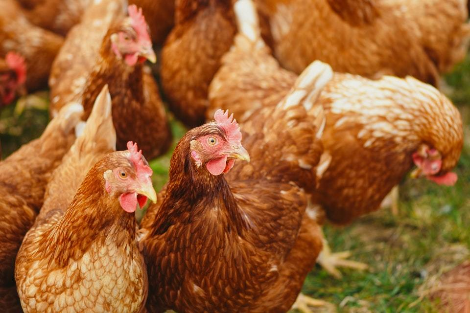 Read more about the article Avian influenza (bird flu) identified at Cheshire broiler breeder