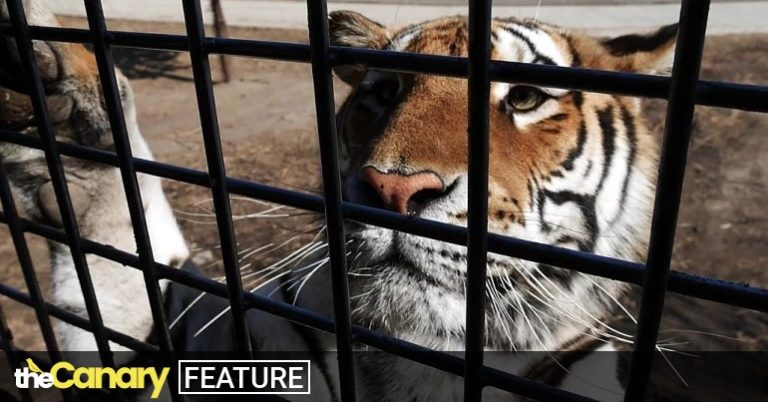 Read more about the article Big cat banquets and 'deboned' live tigers: a new film exposes the gruesome scale of the tiger trade