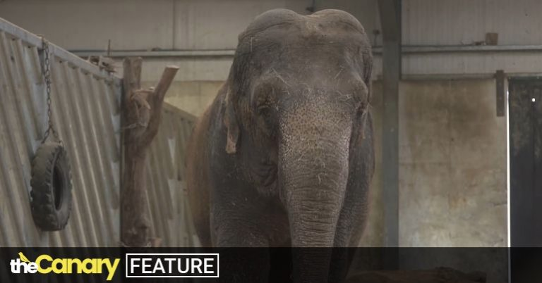 Read more about the article Dozens of experts call on Longleat to give the 'UK's loneliest elephant' her last chance for companionship