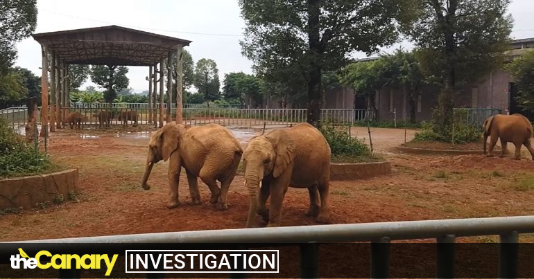 Read more about the article Evidence points to huge sums of unaccounted for cash in Zimbabwe's cruel elephant sales