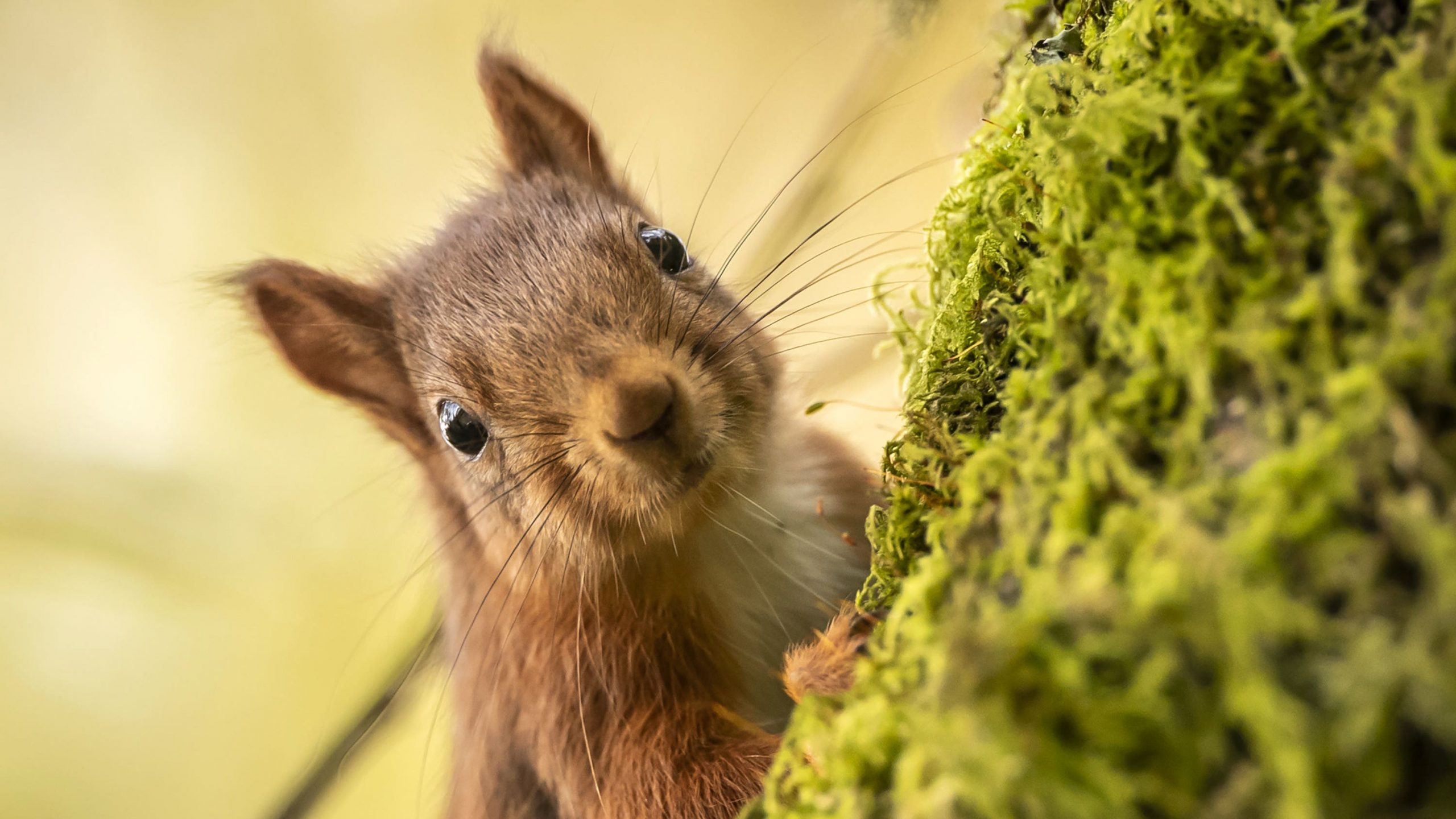 Read more about the article 'Traffic may account for half of red squirrel deaths in some urban populations'